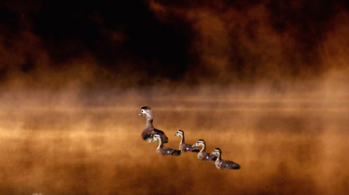 Sigs-Ducks-